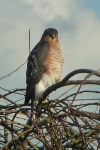 Sparrowhawk 006rileygreen
