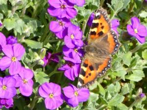 butterflyaubretia 002